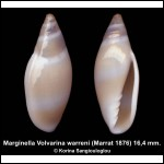 Marginella Volvarina warreni Outstanding!