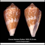 Conus klemae Outstanding Large!
