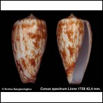 Conus spectrum Gorgeous Exceptional Colors!
