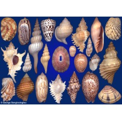 Seashells composition from auction September 2018