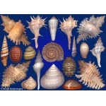 Seashells composition from auction November 2018