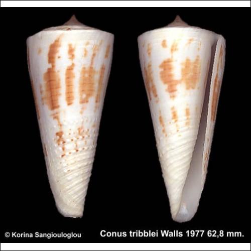 Conus tribblei Gorgeous Half Granulose!