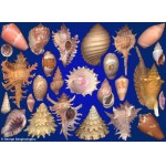 Seashells composition from auction March 2020