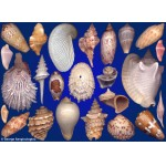 Seashells composition from auction October 2020